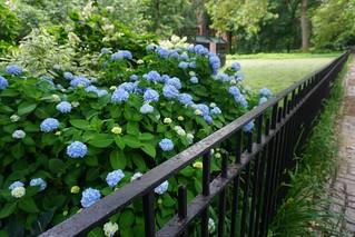 Happy Fence Friday- NYC blue hydrangeas