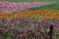 I figli dei fiori (meghimeg) Tags: 2017 fiori flowers bacio kiss amore love