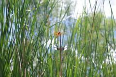 dead horse ranch- dragonflies (EllenJo) Tags: pentaxk1 july 2017 ellenjo arizona verdevalley deadhorseranchstatepark verderiver cottonwood summerinarizona az river riparian 86326