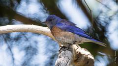 Western Bluebird (Sialia mexicana) (Tony Varela Photography) Tags: westernbluebird bluebird sialiamexicana webl photographertonyvarela