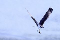 Osprey (Chatham Sound) Tags: fauna osprey pandionhaliaetus birds birdsofprey northamerica canada britishcolumbia nikond5 tamron150600mmf563divcusdanimal tamron150600mmf5663divcusd