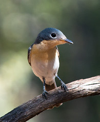Leaden Flycatcher at BBO_3218 (Jen Crowley Photography) Tags: bird flycatcher leaden leadenflycatcher bbo broomebirdobservatory broome wa westernaustralia australia
