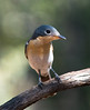 Leaden Flycatcher at BBO_3218 (Jen Crowley Photography) Tags: bird flycatcher leaden leadenflycatcher bbo broomebirdobservatory broome wa westernaustralia australia