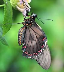 Macro Swallowtail (Bogger3.) Tags: butterfly swallowtail stratforduponavon macro canon600d canon18x135lens ngc