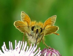 Sweet nectar (Alan McCluskie) Tags: proboscis antennae mouthparts eyes butterfly largeskipper macro closeup nature wildlife canonsx60 bridgecamera naturescenes