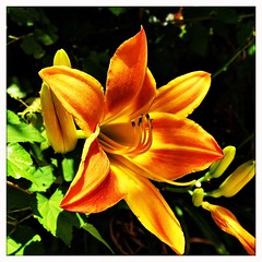 Around the neighborhood. #Takoma #dc #dclife #washingtondc #iPhone365 #iphoneography #iPhone #iPhonemacro #macro  #flower #flowersofinstagram #lily (Kindle Girl) Tags: iphone365 iphoneography takoma dc dclife washingtondc iphone iphonemacro macro flower flowersofinstagram lily