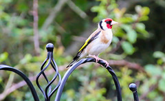 Goldfinch (Andy.Gocher) Tags: andygocher canon100d sigma18250 europe uk wales westwales southwales pembrokeshire howelstonholidaypark bird goldfinch