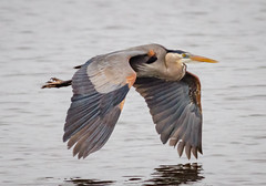 Great Blue Heron (tresed47) Tags: 2017 201704apr 20170426bombayhookbirds april birds bombayhook canon7d content delaware flightshot folder general greatblueheron heron peterscamera petersphotos places season spring takenby us ngc npc
