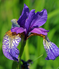 """Shaker's Prayer"" Iris (TomIrwinDigital) Tags: iris shakersprayer flower flowers rbg rbgblooms garden fantasticflower iridaceae macro"