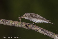 Papamosques gris, Papamoscas gris , Spotted Flycatcher (Muscicapa striata) (Carles Pibernat) Tags: ngc