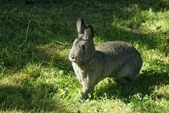 Sherman (Tjflex2) Tags: rabbit bunny sunshine grass green outdoors