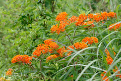 Kristen Martyn- Butterfly Weed, 20170630 (9) (KristenMartyn) Tags: flower nativeplants gardening garden indoorplants plants flora ontario outdoor tour tours wildflower wildflowers nativeplant butterflyweed milkweed asclepiastuberosa butterfly