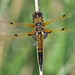 Four-spotted Chaser (Full Moon Images) Tags: wildlife nature insect macro dragonfly monks wood reserve cambridgeshire fourspotted chaser