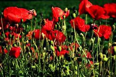 Poppy Scene (Duane Jones Cheshire1963) Tags: poppy poppies flower red wild garden seed opium drug bright colour color stalk stem green field flickr flickhive duane jones nikon d3100 pod ripe warrington lancashire cheshire sunshine