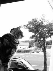 Tigger at the Window (sjrankin) Tags: 15july2017 edited animal cat tigger yubari hokkaido japan window windowsill kitchen outside grayscale
