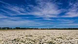 Field daisies