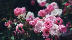DSC02880-02 (suzyhazelwood) Tags: rose flowers floral garden summer sony a6000 creativecommons pink