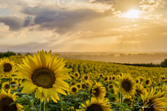 Sunset on Sunflower (Stefano Ricca Photo) Tags: yellow field sky landscape nature flower sun summer beatifull bright season sony sunny flora agriculture sunflower rural farm outdoors piedmont growth langhe langa hayfield piemonte barolo fair weather sonya6000