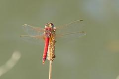 Cardinale venerosse (M a r i S à) Tags: cardinalevenerosse sympetrumfonscolombii odonata odonati insect dragonfly redveineddarter libellula libellulidae anisoptera nomad