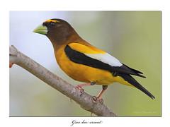 Gros bec errant / Evening Grosbeak 153A1476 (salmo52) Tags: oiseaux birds salmo52 alaincharette bonaventure hesperiphonavespertina fringillidés fringillidae passériformes