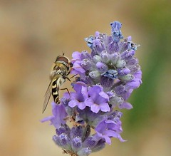 Macro Hover Bee in my Garden (Bogger3.) Tags: hoverbee mygarden macro canon600d canon18x135lens handheld coth coth5 sunrays5