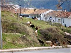 Cabritas trashumantes ascendiendo .. (margabel2010) Tags: animales cabras ovejas campo casas pueblo cazorla ganado rebaños airelibre carretera ventanas tejados farolas acera mamíferos chimeneas