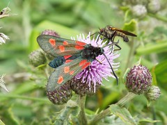 Narrow-bordered Five-spot Burnet moth (martindove) Tags: narrow bordered five spot burnet moth imago june nature wildlife lepidoptera cleveland way filey