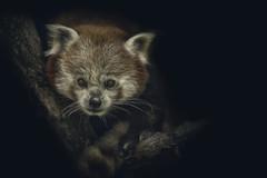 Red Panda (Blitzknips) Tags: redpanda roterpanda sonya77 a77 alpha77 animal tier tierparkberlin tierpark animalportrait tierportrait katzenbär lesserpanda redcatbear säugetier mammal bildbearbeitung imageediting nature