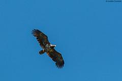 Juvenile White-tailed eagle (uusija) Tags: haliaeetusalbicilla bird linnut luonto merikotka nature petolintu whitetailedeagle