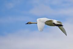 Clear Air (Scott M. Mohn) Tags: sky bird nature clouds summer flight animal white wildlife wings outdoors flying wild waterfowl beak blueskies plumage wingspan avain birdwatching orinthology trumpeterswan longneck webbedfeet minnesota cygnusbuccinator sonyilca77m2