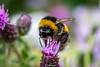 BuffTailedBumbleBee-0001.jpg (vorneo) Tags: bumblebee classinsecta kingdomanimalia bufftailedbumblebee orderhymenoptera wild familyapidae genusbombus phylumarthropoda insect speciesbterrestris subgenusbombus binomialnamebombusterrestris