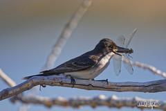 "Eastern Kingbird With Dragonfly (dcstep) Tags: kingbird easternkingbird dragonfly commercecity colorado unitedstates us barrlakebarrlakestateparkcanon5dmkivef500mmf4lisiief20xtciii1 000mmhandheldallrightsreservedcopyright2017davidcstephensdxoopticspro114naturebird 1000mm handheld ""all rights reserved"" ""copyright 2017"" ""david c stephens"" ""dxo optics pro 114"" nature bird ecoregistrationcase15586202651 postnext n7a0887dxo"