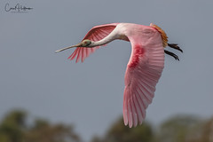 Spoonie (Carol Huffman) Tags: birds wildlife nature outdoors roseatespoonbill spoonie wetlands fl bif flight