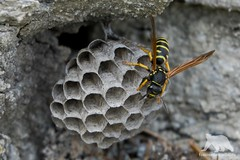 Wasp at work (fascinationwildlife) Tags: animal insect wespe wasp nest building rock summer wild wildlife nature natur national park hohe tauern austria österreich kärnten carinthia makro photography nationalpark hike outdoors