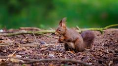 Sciurus vulgaris 2 (Meg4mi) Tags: vert green nature animals animal red squirrel sciurus vulgaris pentax pentaxart k1 55300