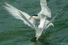 Payback (Earl Reinink) Tags: tern water fight fish fishing commontern natrue bird animal wingsinmotion earl reinink earlreinink niagara uaudrdidia