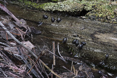 _5007844 (Wolphin8) Tags: snail hotspring banff alberta endangeredspecies banffspringssnail