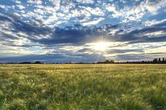 Backlit Barley (Rob McC) Tags: landscape sunset farmland cloud bigsky sundays light shimmer sunburst eton berkshire