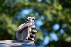 casse-croûte et bokeh (rondoudou87) Tags: lemur lemurien pentax k1 parc zoo reynou nature natur bokeh smcpda300mmf40edifsdm dof sauvage
