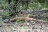 Peek-a-Boo (kishorebhargava) Tags: india indianleopard ranthambhore ranthambhoretigerreserve