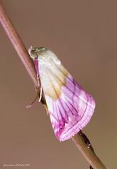 Eublemma purpurina - Denis & Schiffermüller, 1775 (fabrizio daminelli ) Tags: erebidae eublemmapurpurina denisschiffermüller1775 lepidottero falena moth farfalla macro nature natura wild wildlife canon tamron fabriziodaminelli