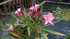 It has Flowered! (Essex Explorer) Tags: wp20170709002 oleander rayleigh essex