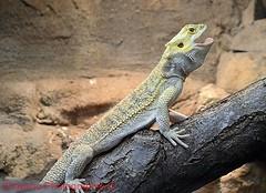 Agame (shaolino) Tags: eidechse reptiel tier nikon d3200 berliner tierpark