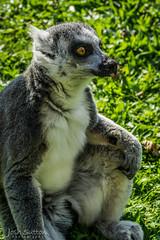 Lemur Surprise (JoshSuttonPhotography) Tags: lemur blackpoolzoo blackpool zoo zooanimal animal animalphotography animalphotograph ringtaillemur shocked surprised cheeky funnyface tongue photography sonya6000 sonymirrorless sony sonyalpha joshsuttonphotography uk