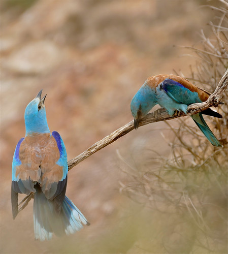 European Rollers (Coracias garrulus) couple duetting ...