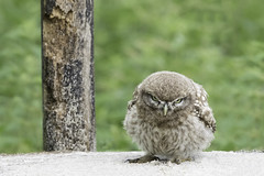 Angry bird ;-) (Judith Nicolai) Tags: owl steenuil littleowl athenenoctua baby jong wildlife bird vogel uil