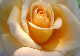 * Un sogno di una rosa di mezzaestate * Midsummer dream of a  rose *