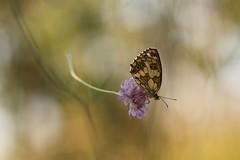 Finalmente!!! (SimonaPolp) Tags: butterfly bug flower purple pink macronature macro bokeh july summer wings wind wildflower bugslife light sunlight sun