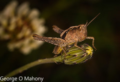 Grasshopper-Explored (George O Mahony) Tags: macro insects ireland waterford waterfordcameraclub explored