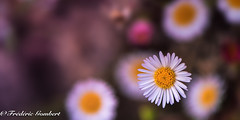 tiny colors (frederic.gombert) Tags: white pink color red yellow tiny flower flowers plant garden stone sun sunlight macro nikon